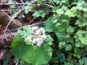 Winter heliotrope photo